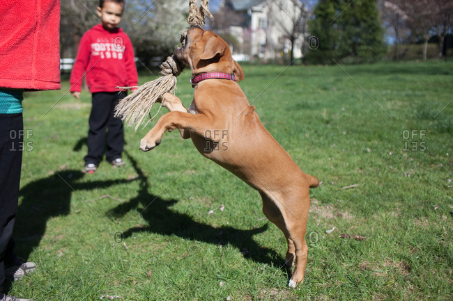 Dog leaping to bite rope while playing with boys