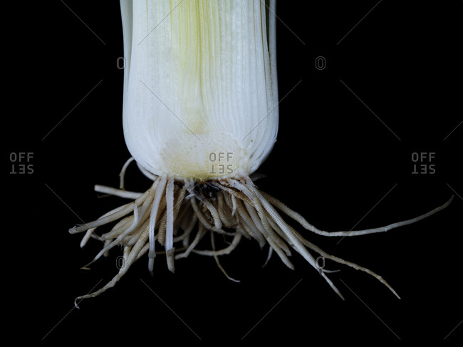 Close up of a leek
