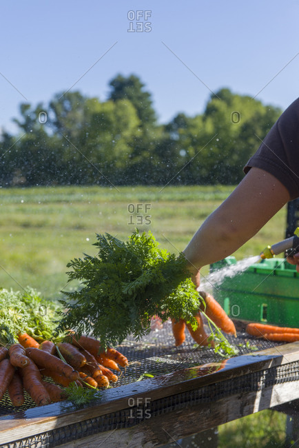 A farm worker washes carrots to sell at a farmers' market