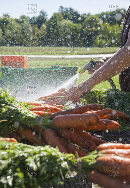 A farm worker sprays carrots to sell at a farmers' market