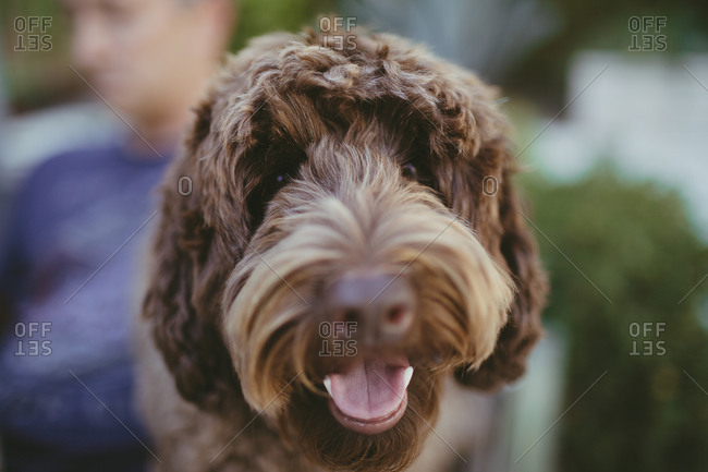 Close up of friendly labradoodle