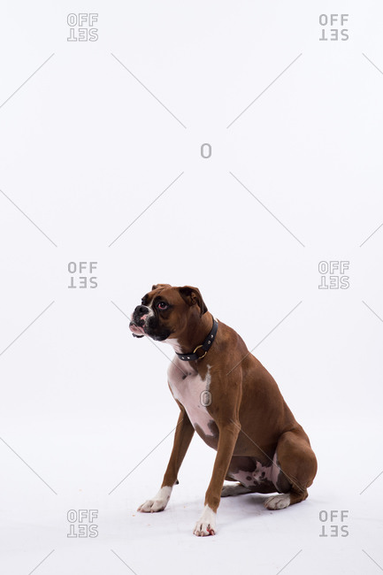 Studio portrait of a boxer dog on white seamless