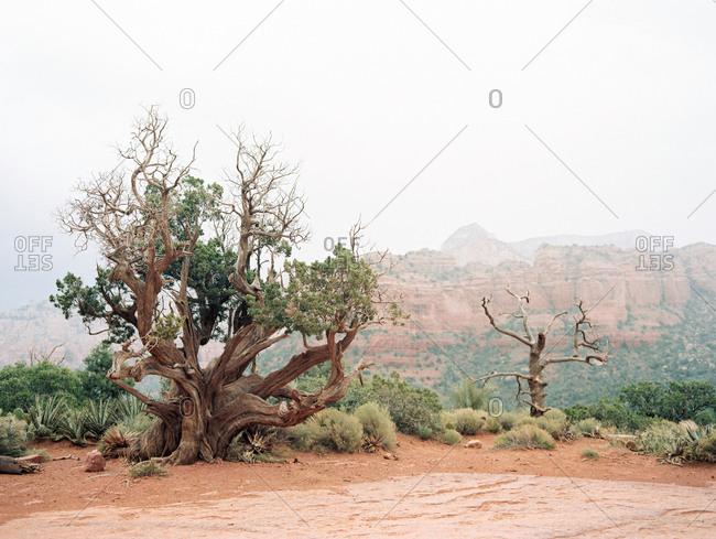 Bristlecone pine tree above a desert canyon