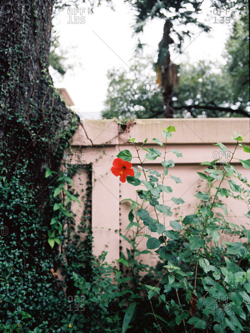 Hibiscus plant next to a tree along a garden wall