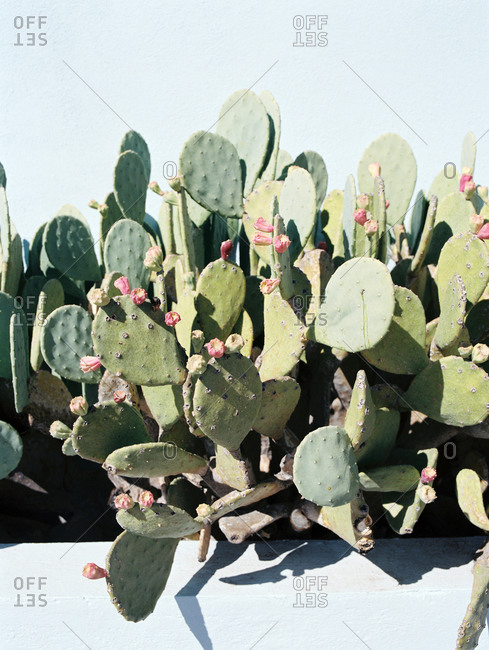 Prickly pear cactus growing along a wall