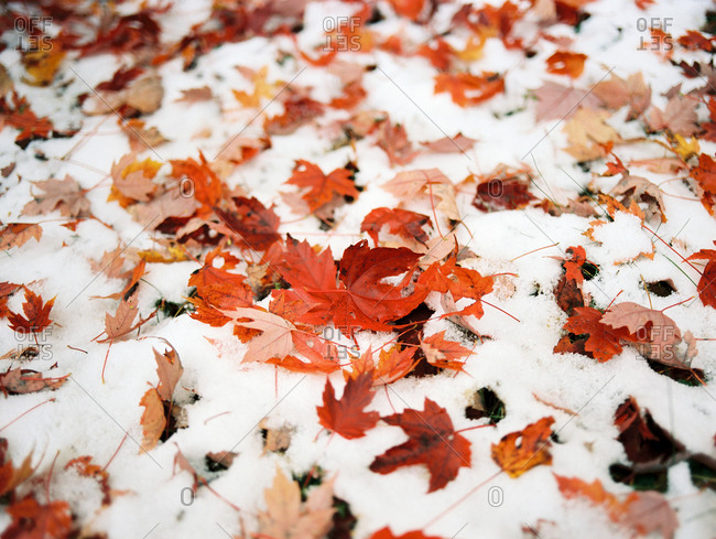Red maple leaves on snow