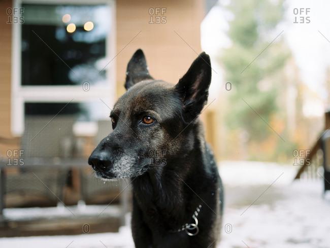 Portrait of a dog standing in snowy backyard