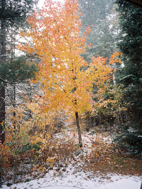 Yellow-orange maple tree in forest during snowfall