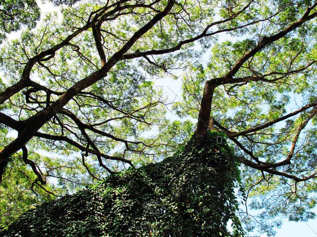 Towering trees in Hawaii