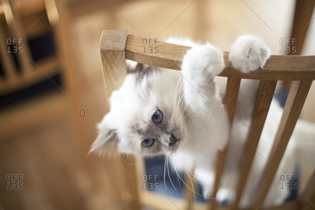 Playful cat hanging on the back of a chair