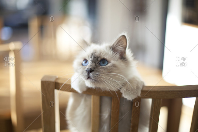 Cute cat peeking over the back of a chair