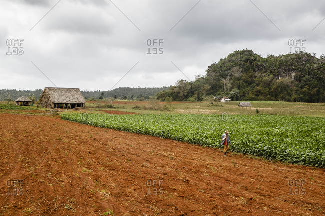 Man walking besides tobacco field at the Vi_ales Valley, Cuba