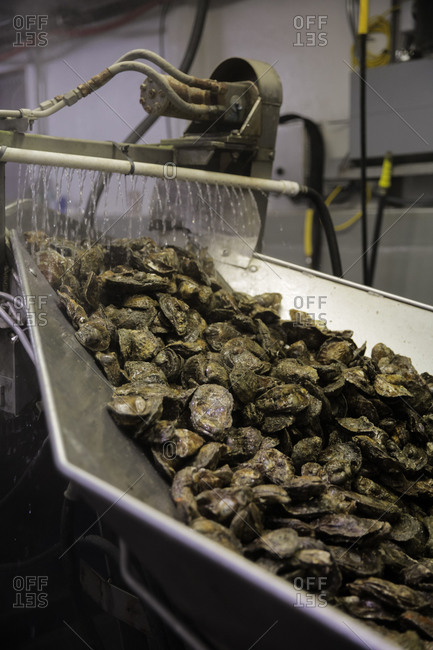 Oysters being sorted on a conveyor belt at a commercial fishing business