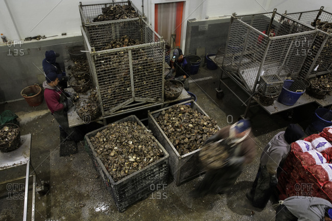 Norwalk, Connecticut, USA - August 29, 2015: Workers sorting oysters at a commercial fishing business in Norwalk, Connecticut