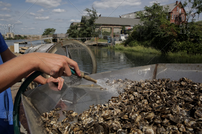 Baby oysters being cleaned in a tumbler at a commercial fishing business in Bridgeport, Connecticut