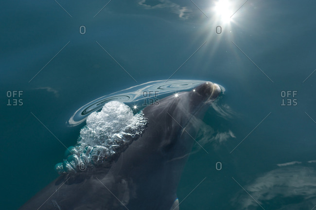 Bottle-nosed dolphin swimming surfacing with air bubbles at its blowhole