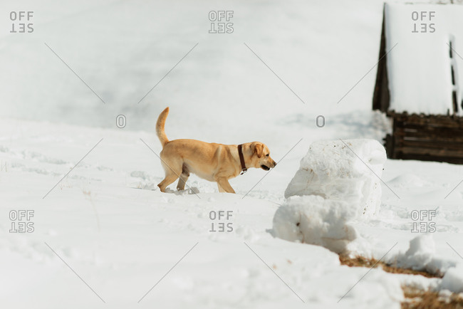 Yellow lab inspecting a large block of snow on a hillside
