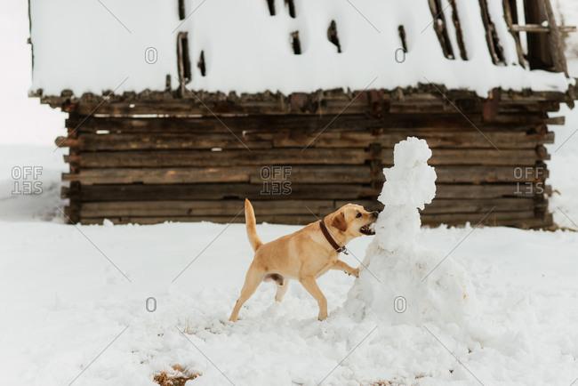 Dog on a snowy hillside biting a snowman