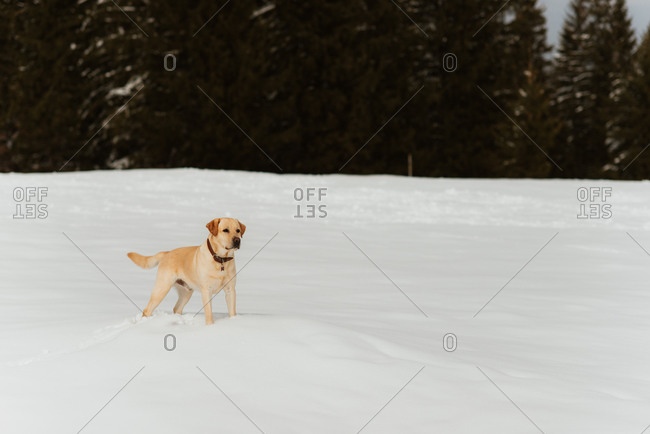 Yellow lab standing in the snow on a hillside