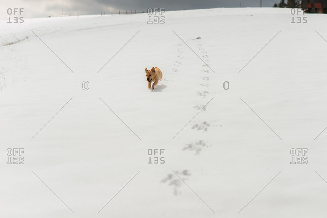 Yellow lab running excitedly down a snow-covered hillside