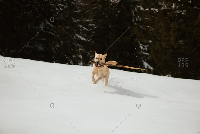 Yellow lab running with a stick across a snowy hill