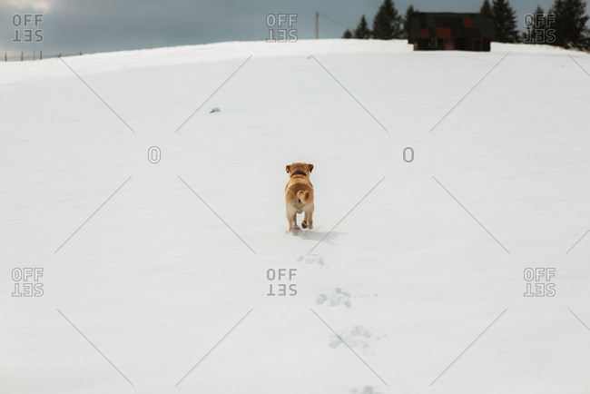 Yellow lab trotting up a snow-covered hill
