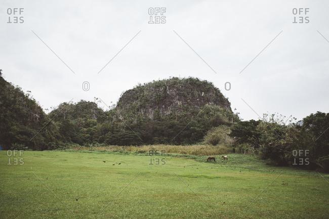 Horses in Cuban field