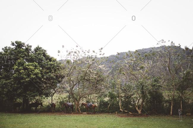 Horses in a Cuban field