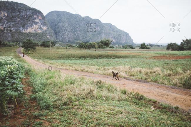 Goat running on dirt road, Cuba