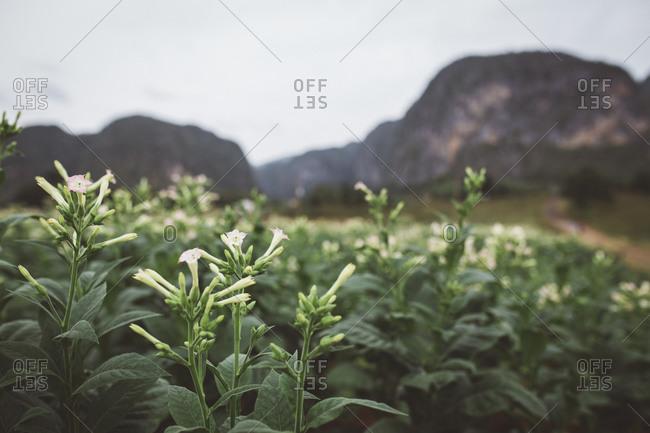 Tobacco plants flowering, Cuba