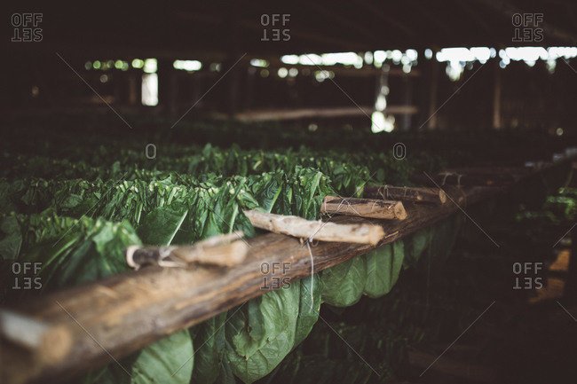 Tobacco leaves drying in barn