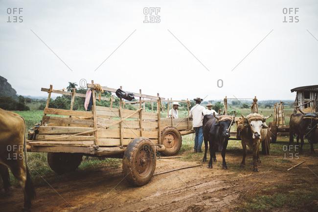 Cuba - January 12, 2016: Ox and farmers in Cuba