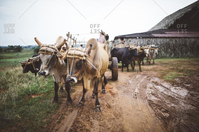 Ox in farm setting, Cuba