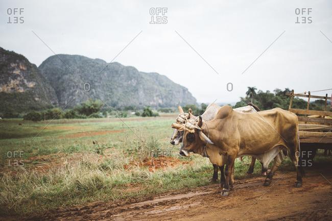 Ox pulling wagon in Cuba