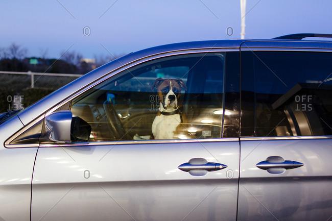 Dog waiting inside a car
