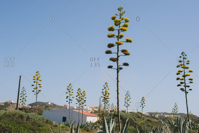 Agave plants on hillside of Costa Vicentina, Portugal