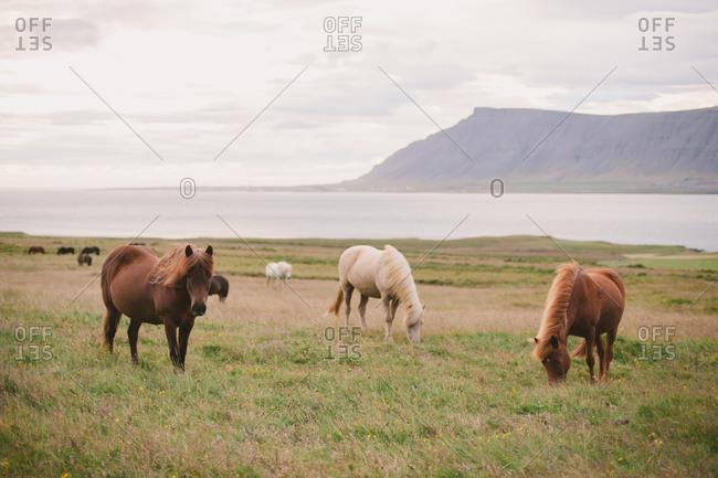 Icelandic horses grazing in a pasture
