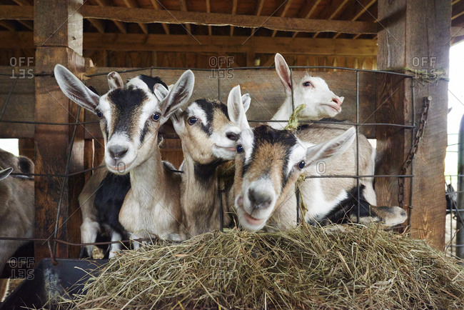 Goats in a barn