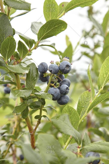 Blueberry bush on a rainy day