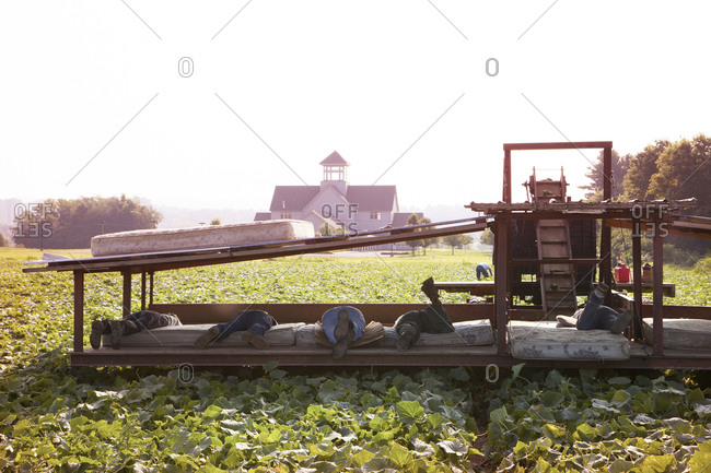 Farm workers picking cucumbers in a field