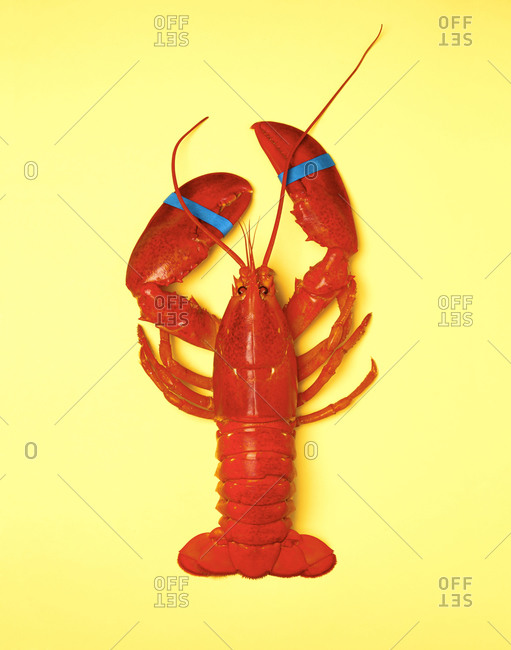 whole cooked lobster on a yellow background