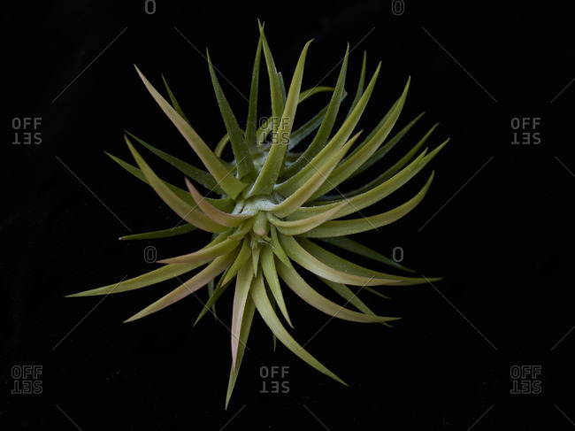 Air plant on a black background