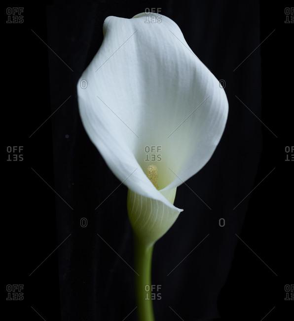 Close up of a white calla lily