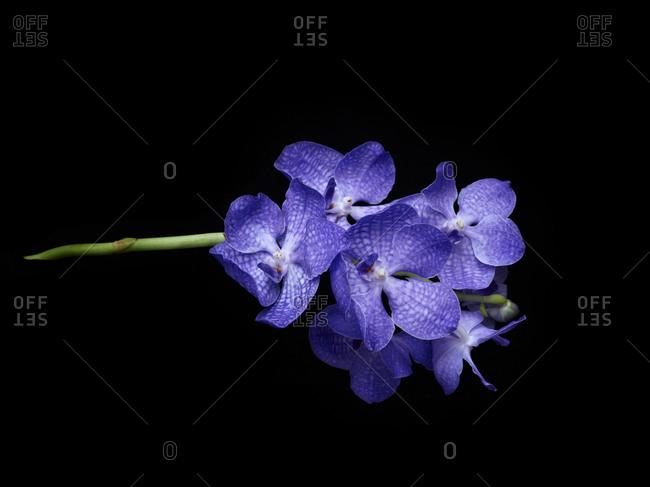 Close up of blue vandas orchid