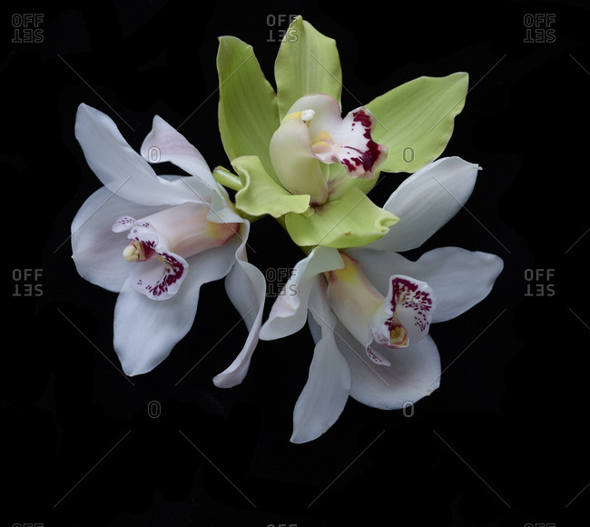 Three orchids heads with spotted lip