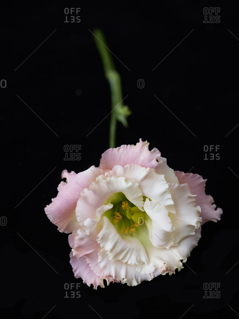 A close up of light pink carnation