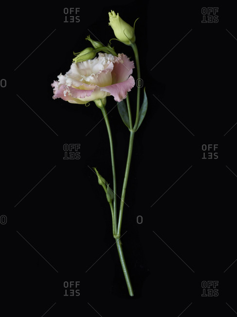 Carnation stem with flower and buds