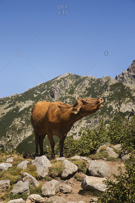 A cow standing on a rocky ridge along the GR20 hiking trail on the island of Corsica