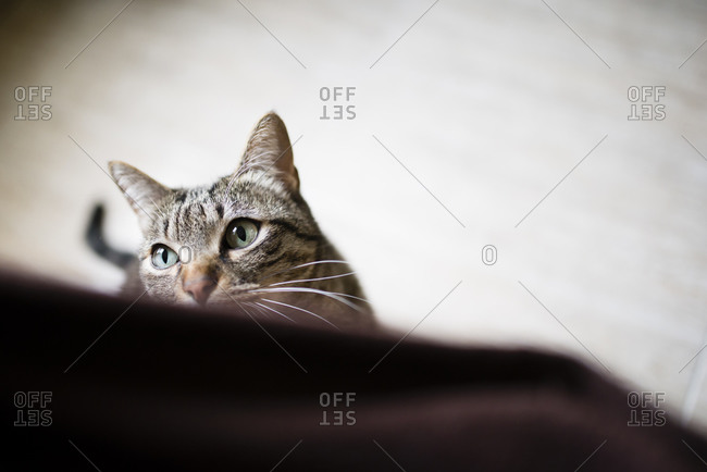 Portrait of tabby cat watching something