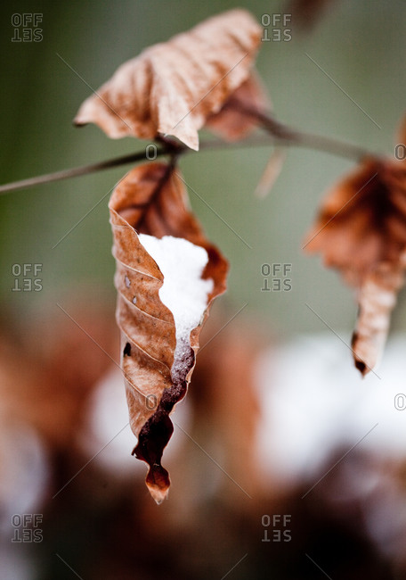 Close-up of dry leaves with snow hanging on branch in winter